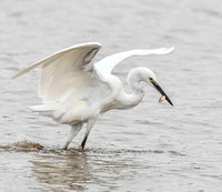 The-Egret-and-the-Fish
