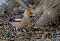 HAWFINCH-AND-SEEDS