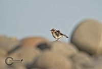 Boulders-with-wheatear