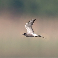 180527Black Tern Colemere SH