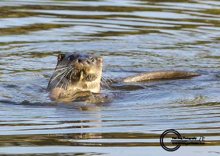 Otter Male (Dog)