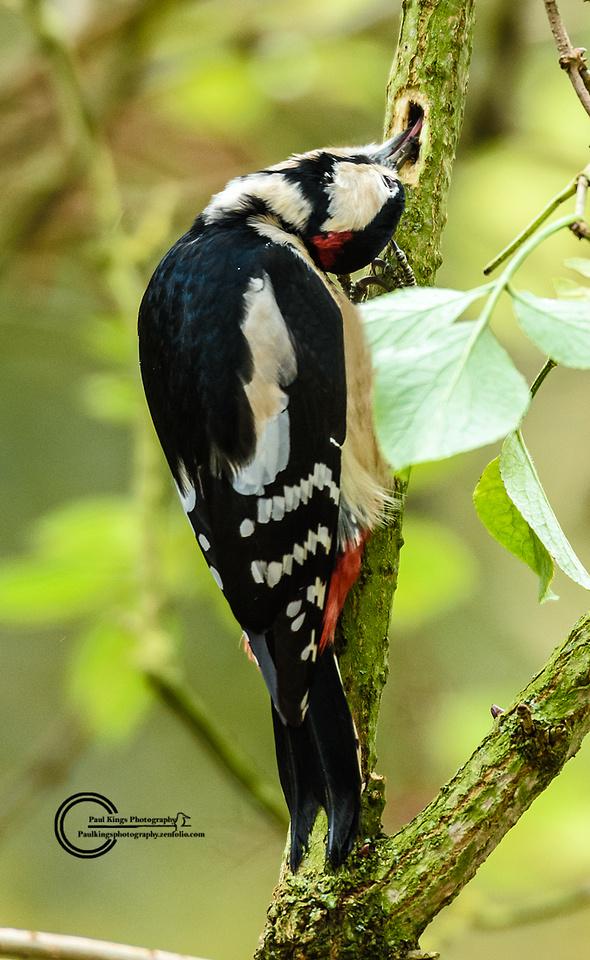 Great-spottrd Woodpecker