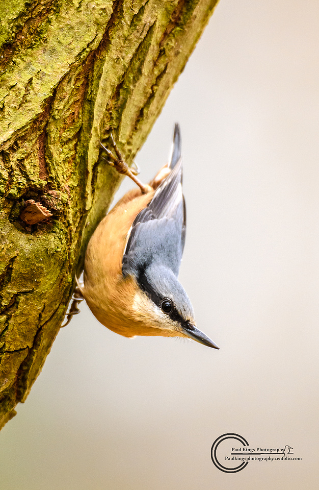 Classical Nuthatch