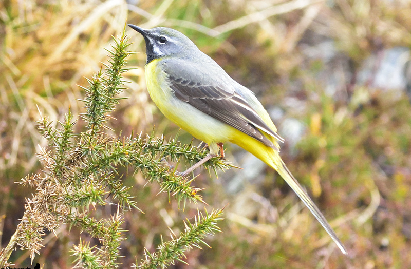 Grey-Wagtail-on-gorse-20160507