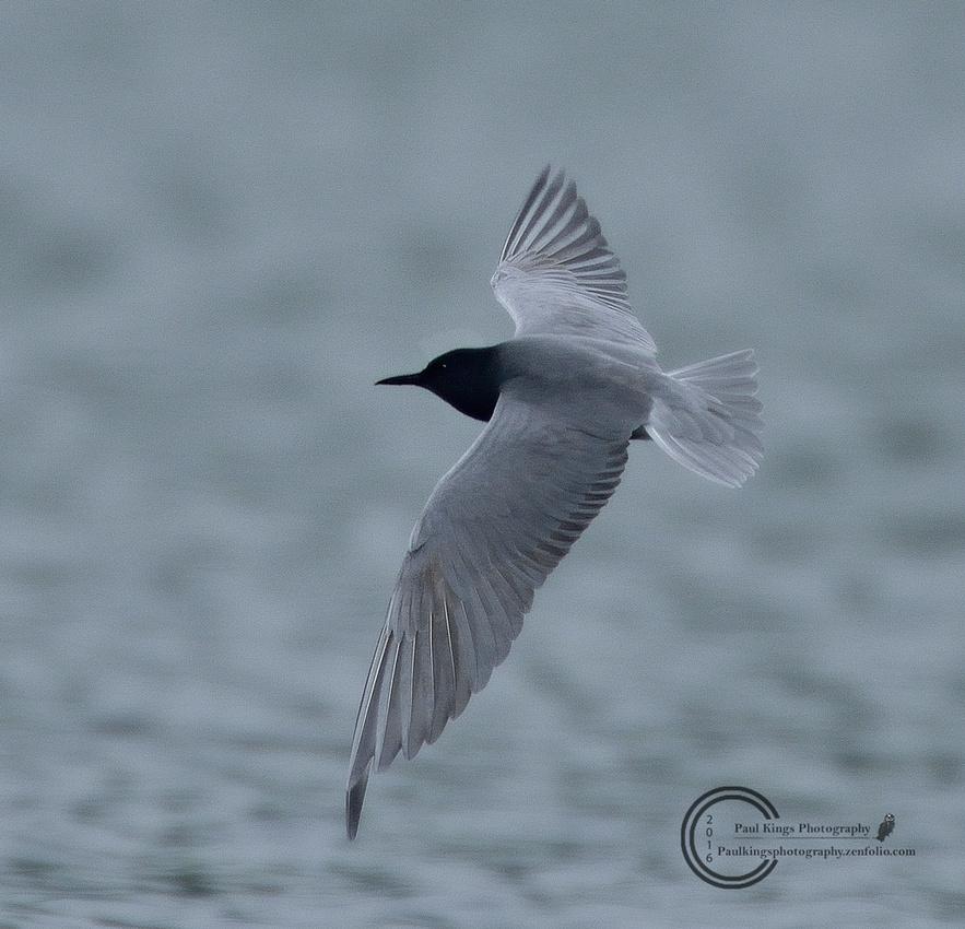 Black-Tern-flyby-20160508