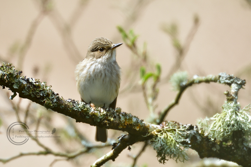 Spotted-Flycatcher-20160508
