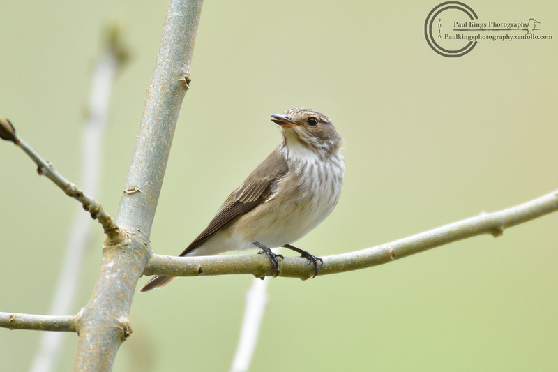 Spotted-Flycatcher-2016-5-6-a