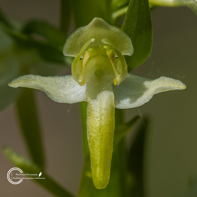 Great-Butterfly-Orchid-(Platanthera-chlorantha)