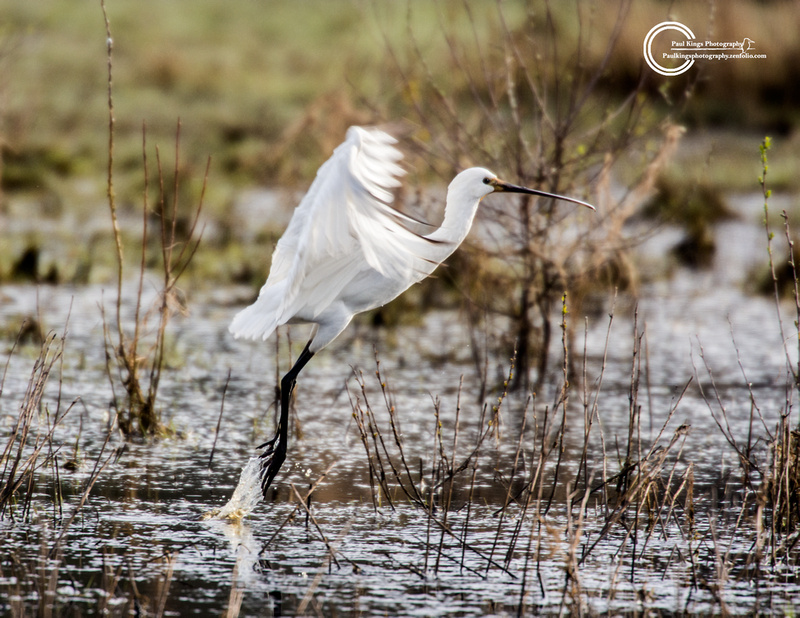 Spoonbill-Whixall
