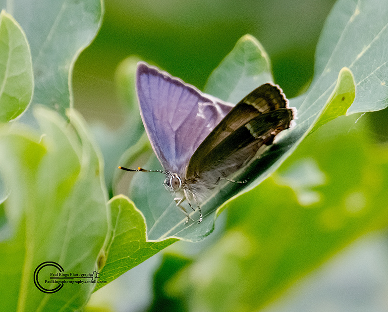 Purple-Hairstreak-PH-16-1