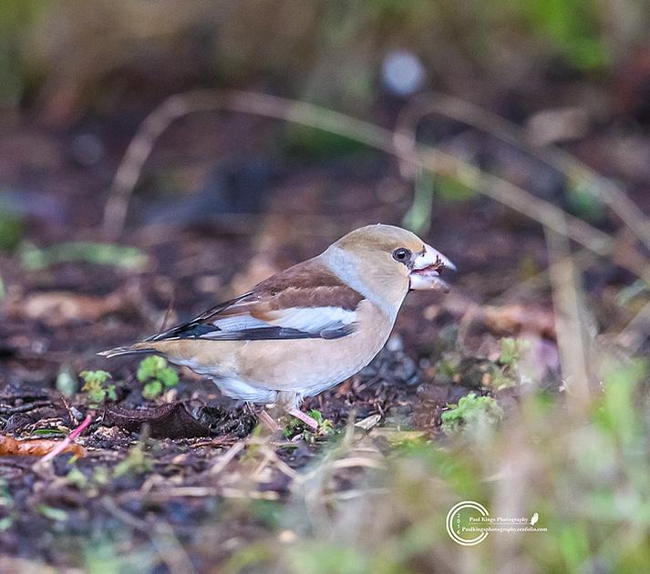 hawfinch-7