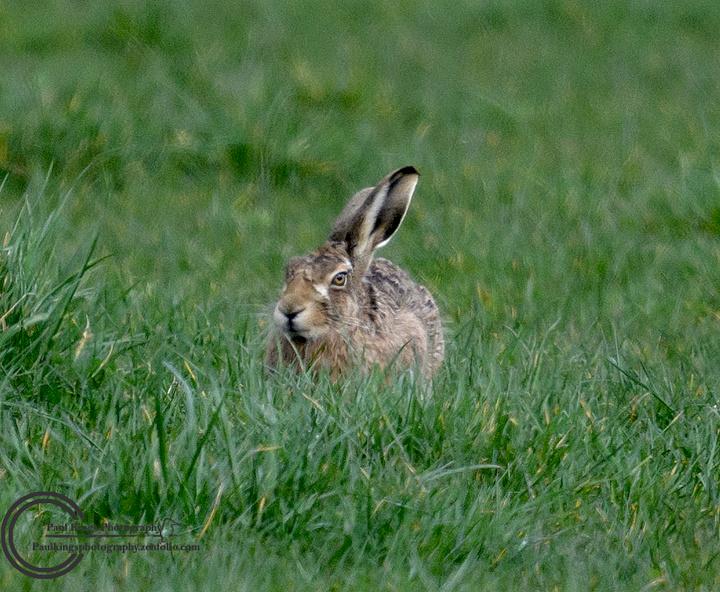 Brown-Hare-SLP