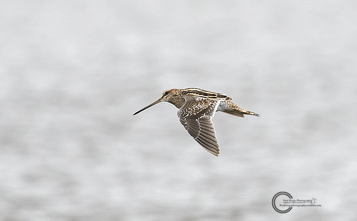 Common snipe flight