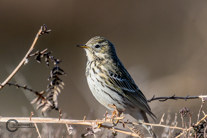 Meadow-Pipit-WE