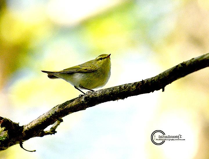 Wood-Warbler-CC-2017
