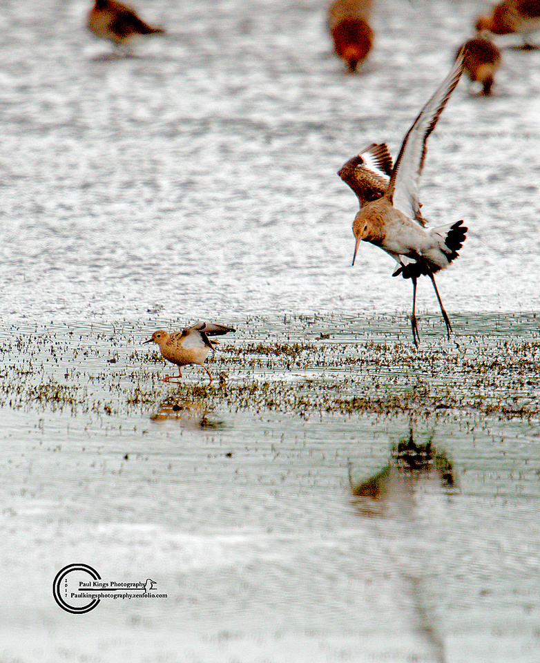 Buff-breasted-and-Blackwit-BM-2017
