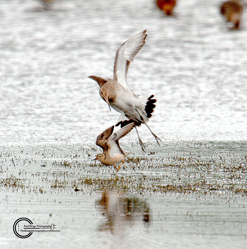 Bully-Boy-and-Buff-breasted-Sandpiper