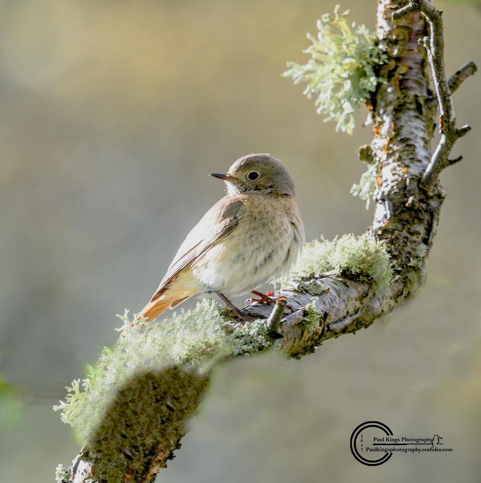 Femal-Redstart-a-EV-2017