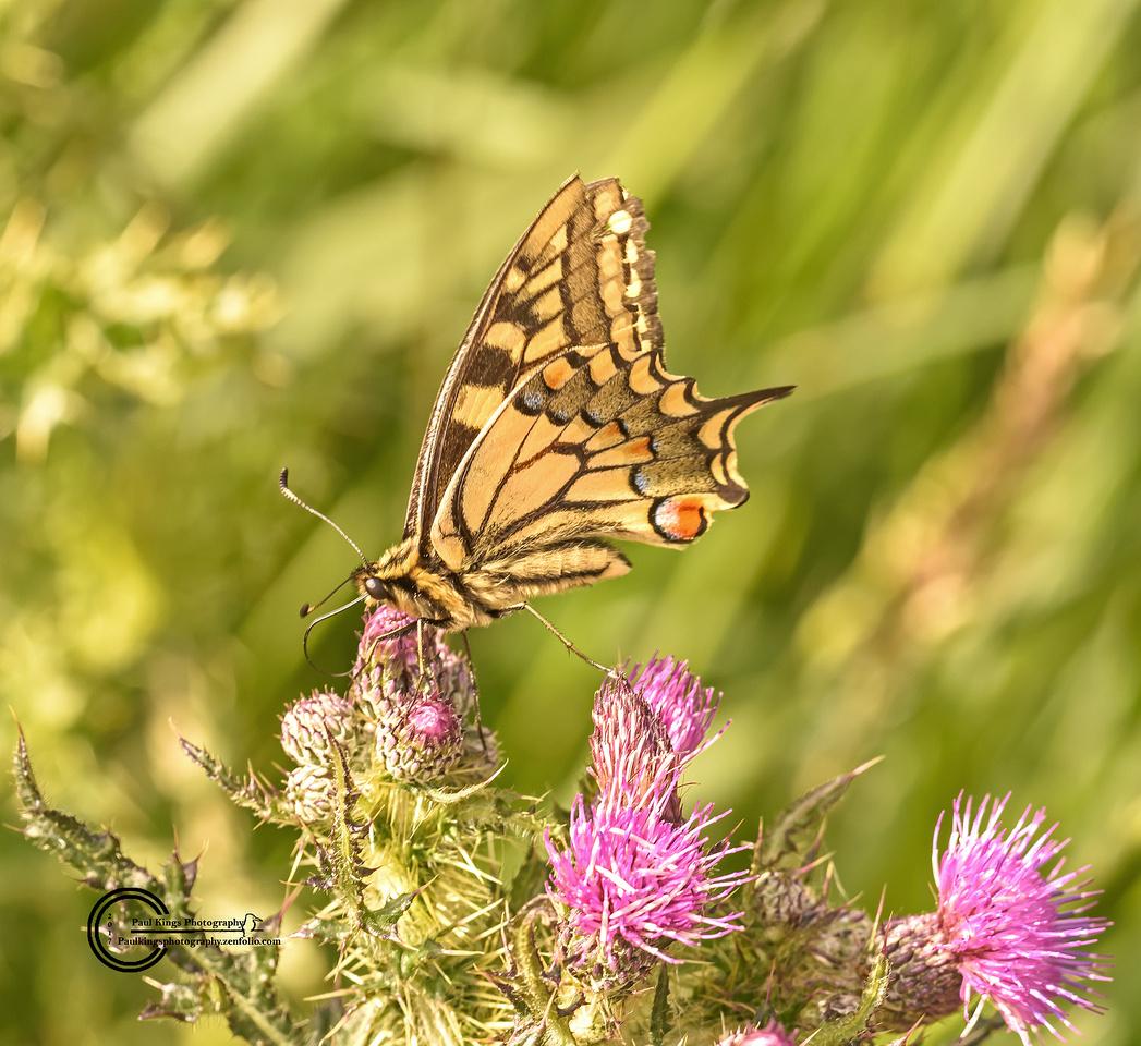 Swallowtail-Butterfly-2017