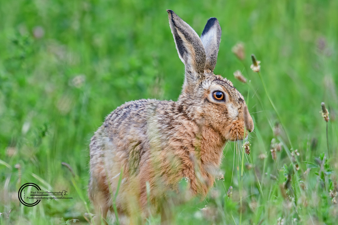 The Brown Hare