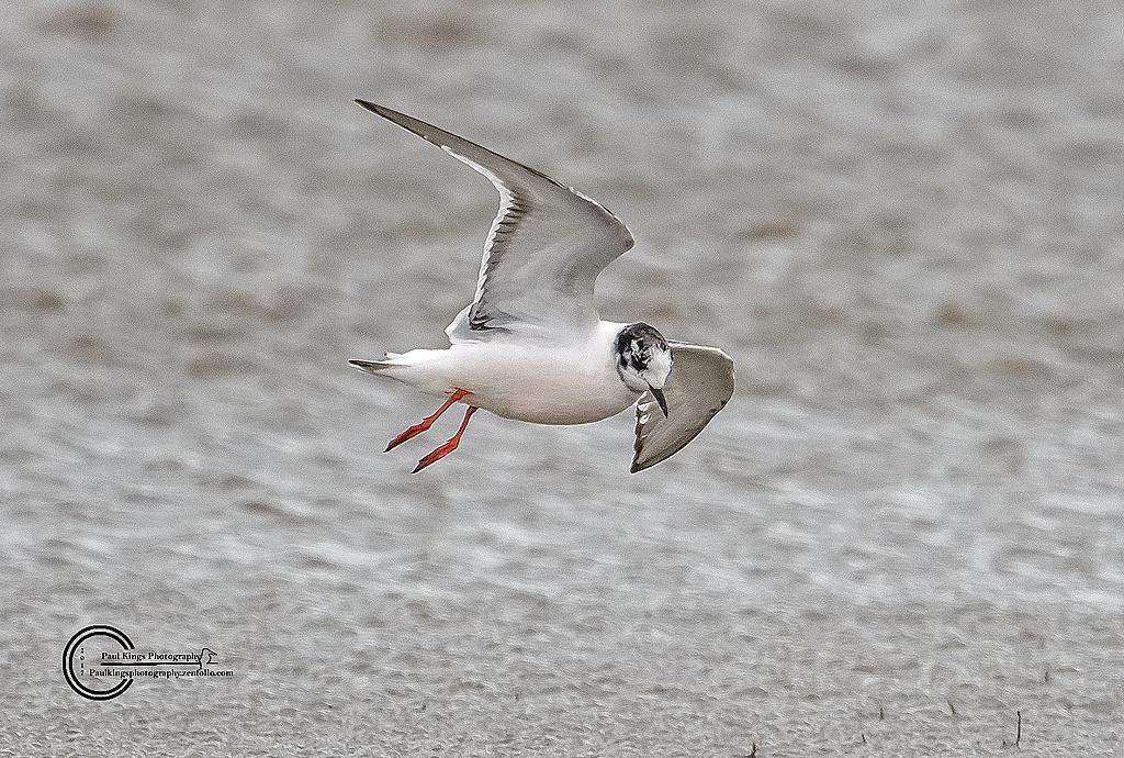 Little-Gull