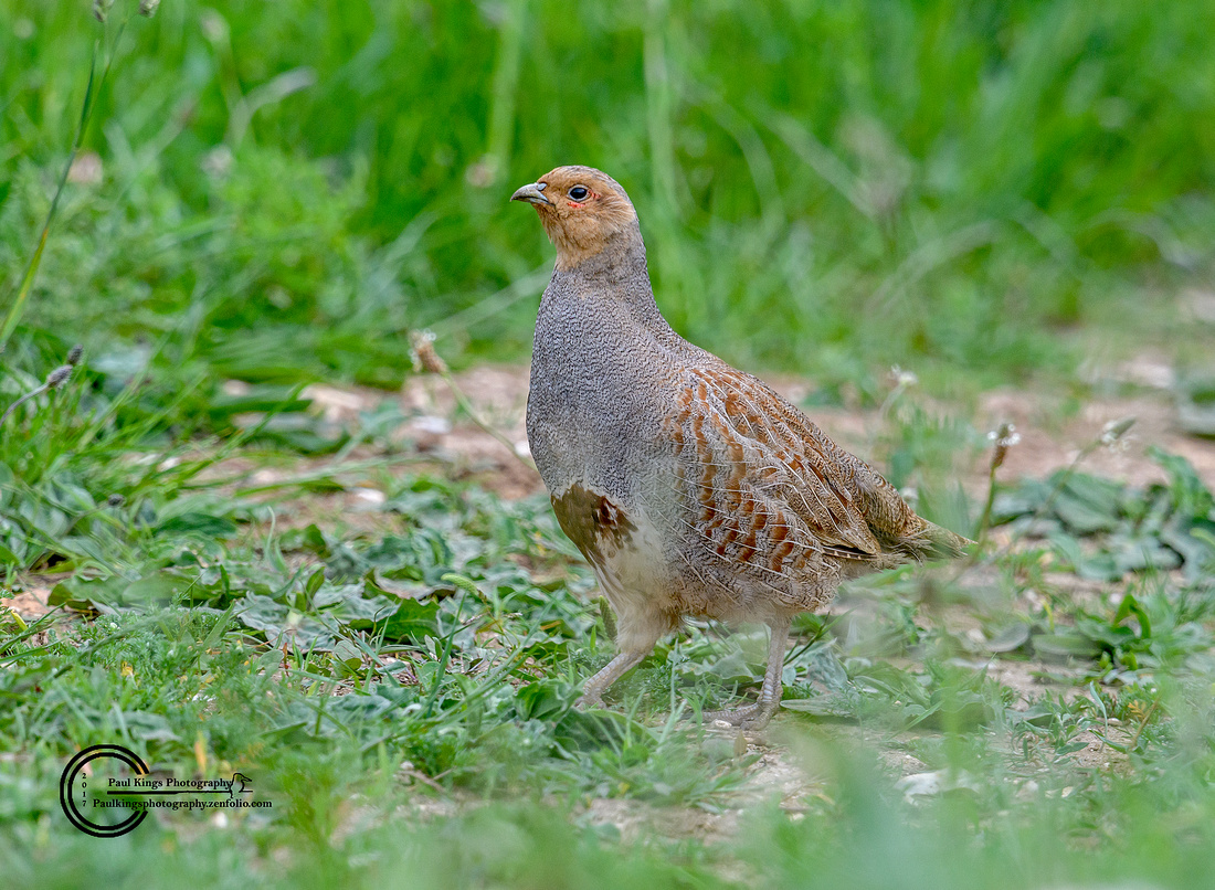 Grey-Partridge-male