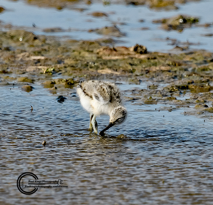 Young-Avocet