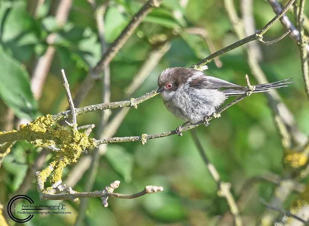 Juv-Long-tailed-Tit