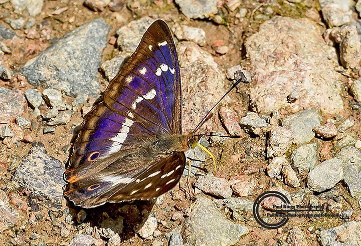 Purple-Emporer-pose