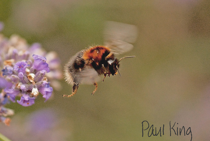 Bee-Fly-by