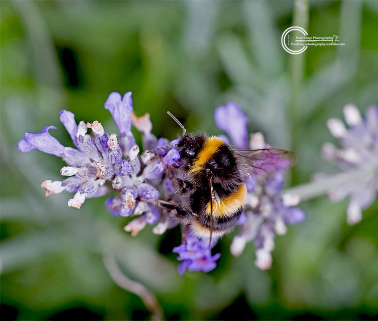 BUFF-TAILED-BEE