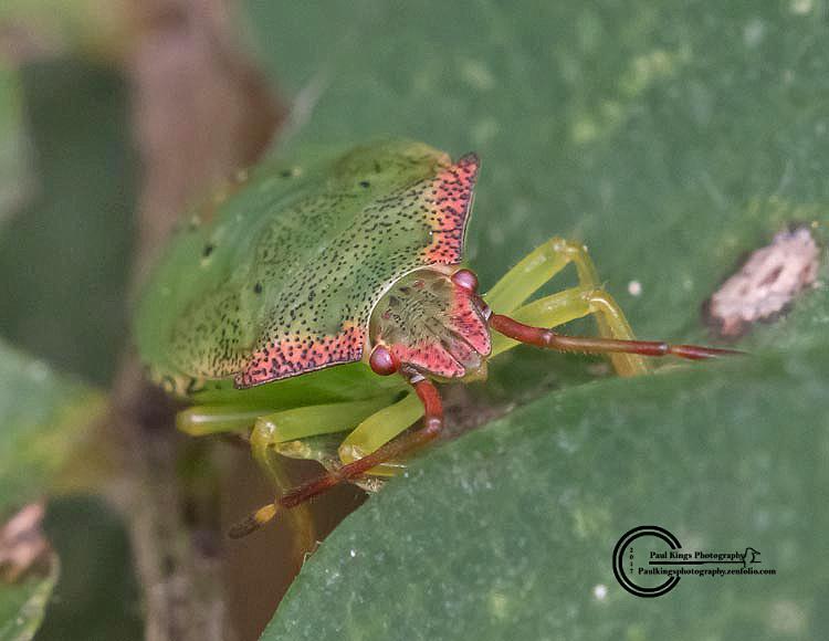 Shieldbug-instar