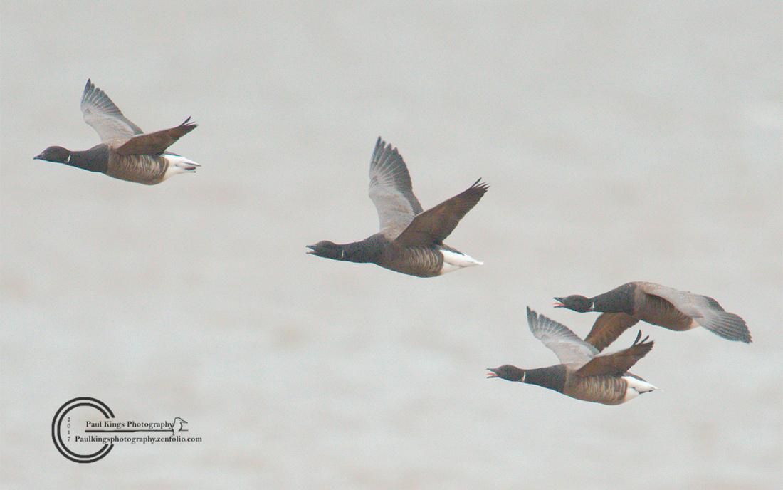 Brent-Geese-1