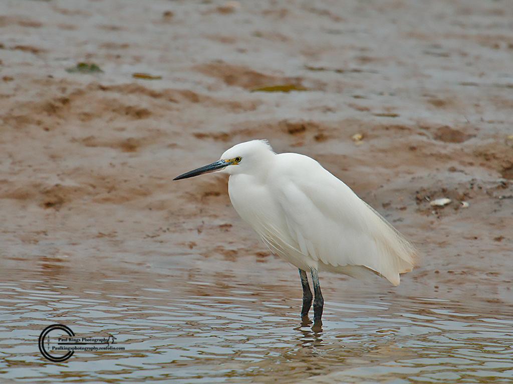 Little-Egret-Titchwell