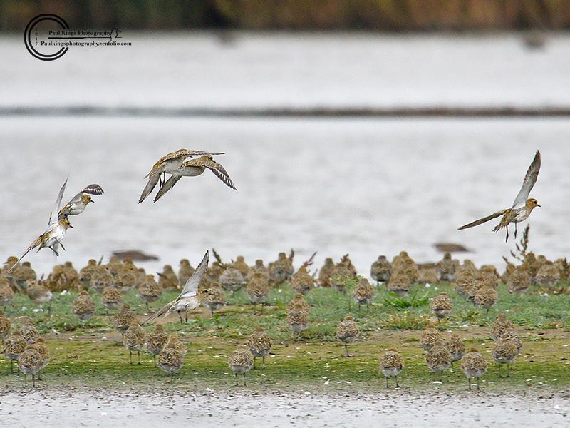Golden-Plover-Titchwell