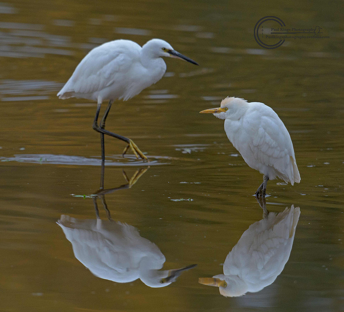 Size-comparison-Cattle-Egret