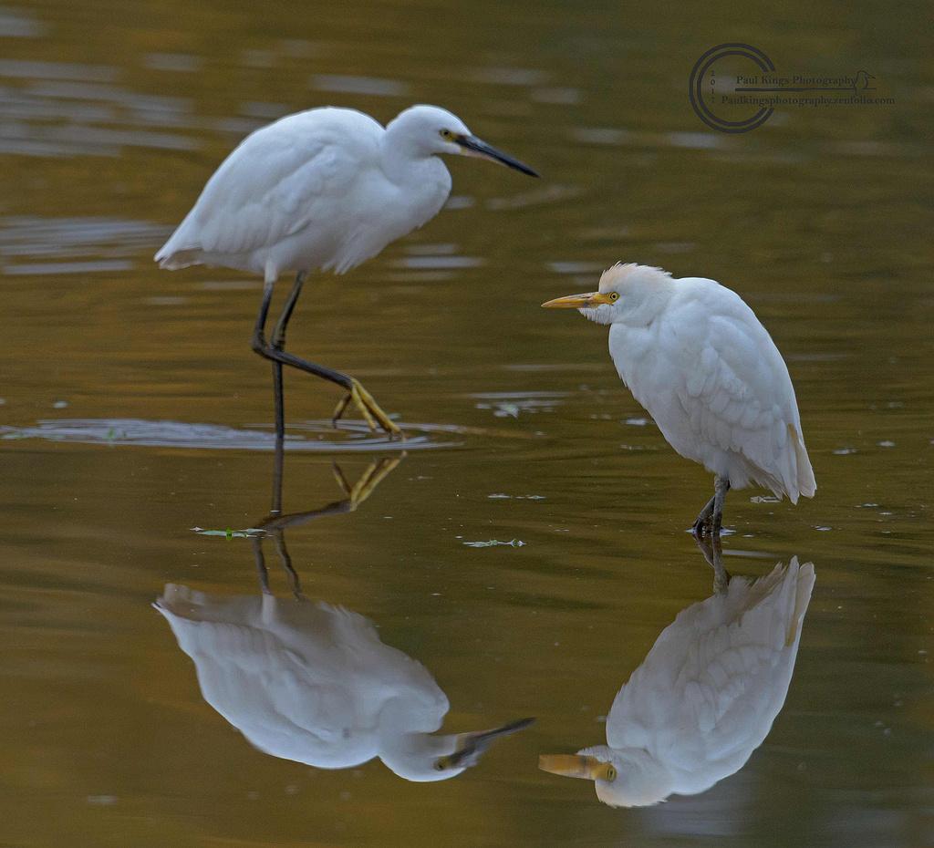 Size-comparison-Cattle-Egret