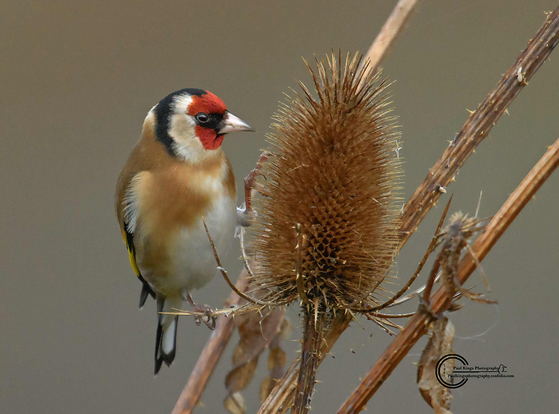 Goldfinch-on-teasel