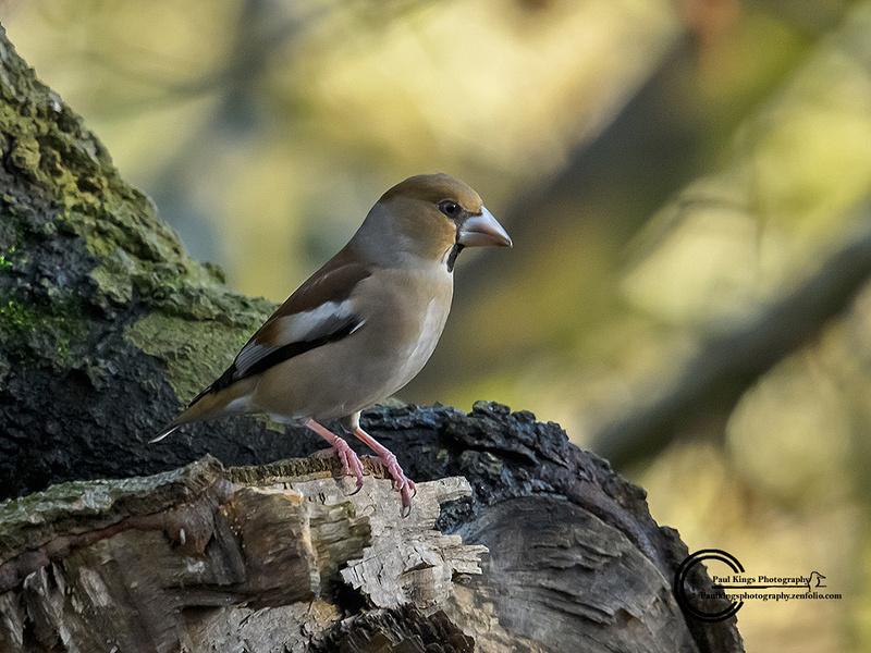 Hawfinch-2