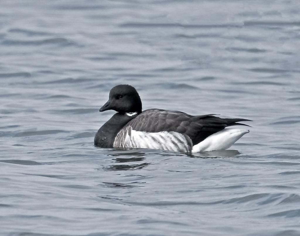 Brent-goose-WK