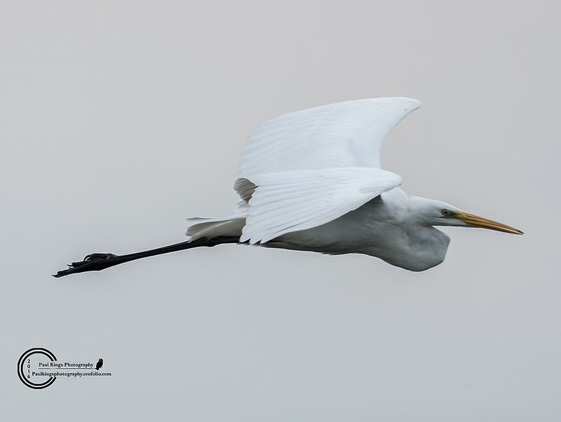 Great-white-Egret