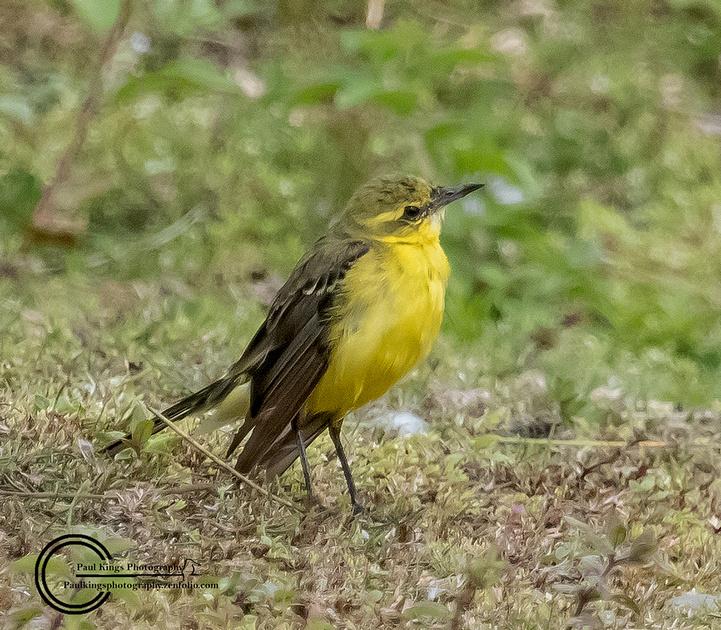 Juv-Yellow-Wagtail