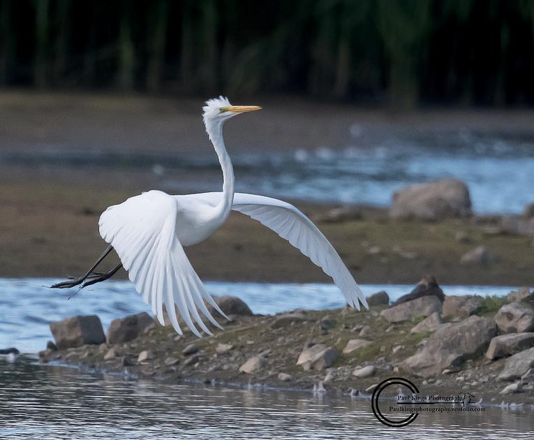 Great-white Egret