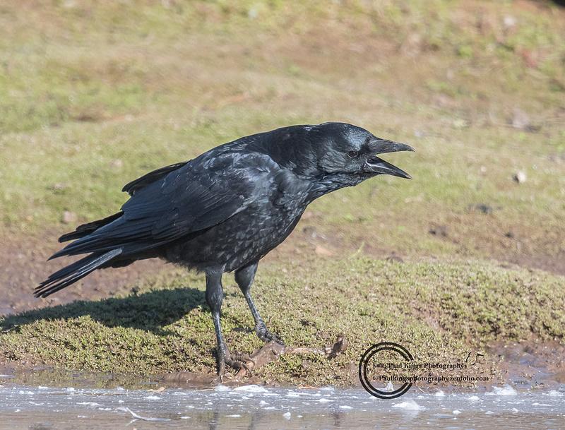 Carrion crow VP Shropshire