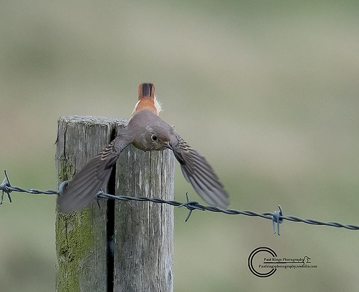 Juvenile--Redsart