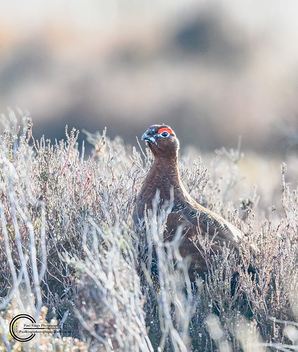 Red-Grouse-WE