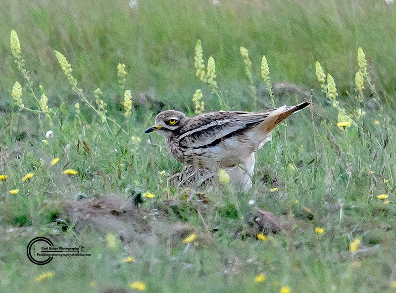 Stone-Curlew-WH-2017