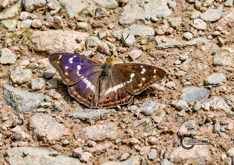 Purple-Emperor-feeding-1