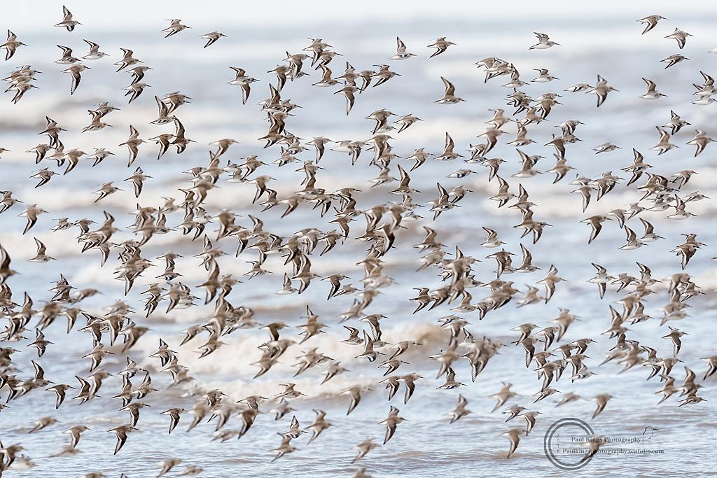 Dunlin-Knot-flock