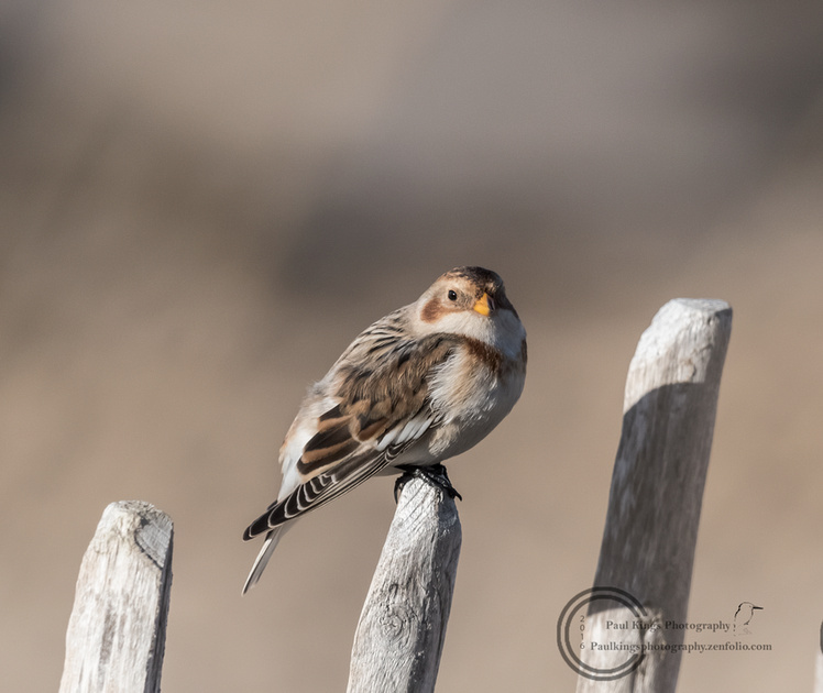 Snow-Bunting-Posted